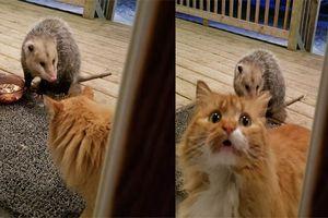 Phản ứng hài hước của chú Mèo khi bị kẻ lạ mặt ăn cắp thức ăn