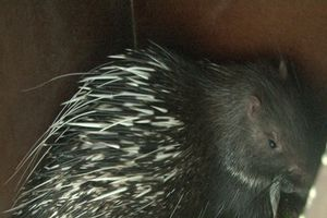 Thừa Thiên-Huế: Phát hiện 11 cá thể nhím hoang dã