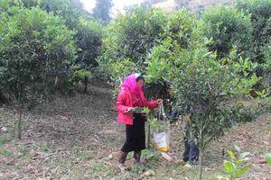 Văn Chấn (Yên Bái): Cây ăn quả có múi giúp người dân nâng cao đời sống