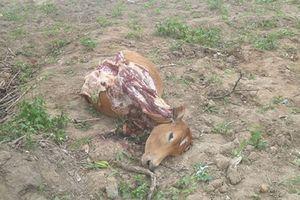 Trộm bò xẻ thịt lấy đi 4 phần đùi