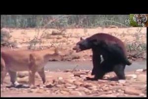 Trận chiến khốc liệt giữa gấu đen và sư tử