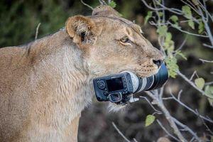 Sư tử mẹ 'trộm' bộ máy ảnh 2500 USD của nhiếp ảnh gia hoang dã