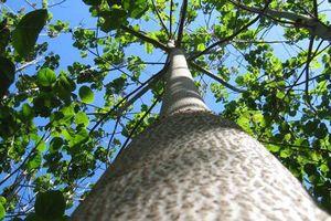Kinh ngạc 'siêu' cây có thể làm sạch môi trường ở Việt Nam