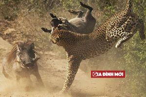 Lợn rừng mẹ truy đuổi báo gấm vì dám tấn công lợn con
