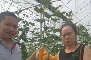 Dưa lưới hữu cơ 'hút' khách ở Thuận Thành