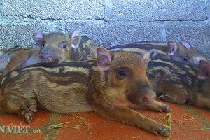 Nuôi đàn lợn sọc dưa đẹp như thú cưng, thích bán lúc nào cũng được