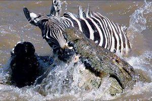 Tóm được ngựa vằn, cá sấu vẫn ngậm ngùi nhịn đói