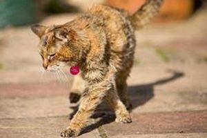 Con mèo sống lâu nhất thế giới