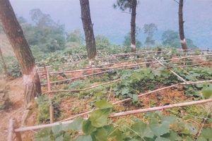 Thanh tra vụ phá rừng ở Khu du lịch Tam Đảo: Chặt phá không vi phạm pháp luật