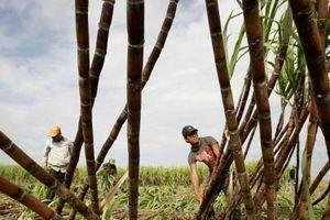 Thị trường chứng khoán: Cổ phiếu ngành đường không còn... 'ngọt'