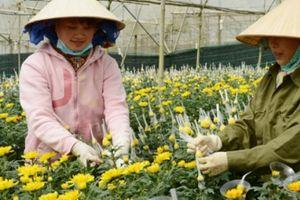 Chưa tới rằm tháng 7, hoa cúc Đà Lạt đã tăng giá gấp đôi