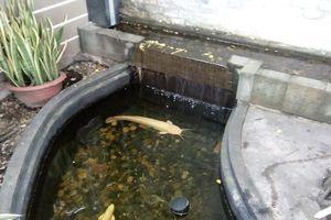 Cận cảnh cá trê bạch tạng 'khủng' ở miền Tây
