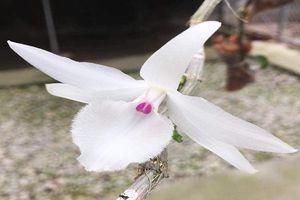 Giò phong lan lạ siêu đắt giá 1,1 tỉ đồng gây xôn xao