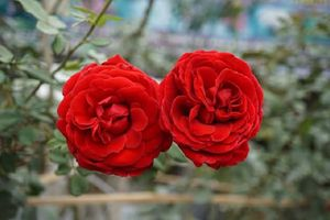 Cách dùng hoa hồng trị bệnh mang lại hiệu quả cao