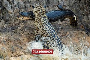Mèo to săn cá lớn: Báo đốm nhảy xuống sông giết chết cá sấu trong chưa đầy 30 giây
