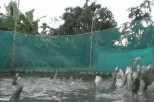 Không tin nổi vào mắt khi thấy những đàn cá kỳ lạ bậc nhất đất Việt