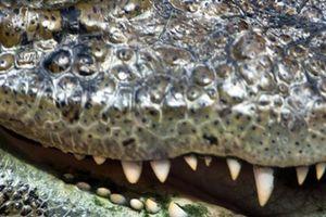 Mỹ: Cố bảo vệ chó cưng, bà chủ bị cá sấu sát hại