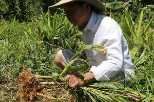 Hơn 100 tấn nghệ của nông dân Quảng Nam cần 'giải cứu'