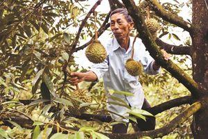 Ấm no nhờ trái sầu riêng