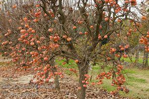 Mãn nhãn vườn hồng Nhật Bản 50 triệu đồng/quả