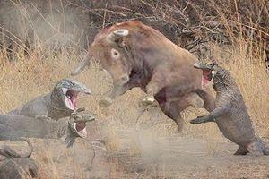 Vũ khí đáng sợ giúp rồng Komodo hạ gục trâu đực nặng gấp 4 lần