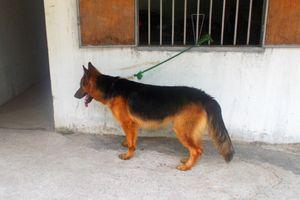 Hà Nội: Chó béc giê trở chứng cắn vào cổ khiến chủ nhà tử vong