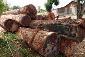 Vụ gỗ Phượng 'râu': Hàng loạt cán bộ bị kỷ luật