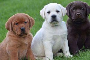 Hai giống chó thân thiện với trẻ em nhất thế giới