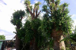 3 cây đa 'khủng' đã xum xuê sau 5 tháng được trồng tạm ở Huế