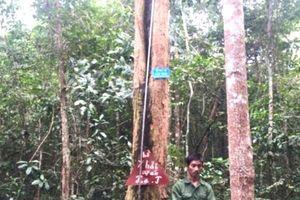 Gia Lai: Tạm giữ 3 đối tượng cưa trộm gỗ quý trong rừng đặc dụng