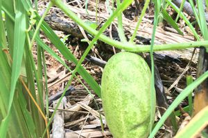 Dưa rừng lạ hoắc ở Quảng Ngãi để phó mặc cho trời thu về tiền triệu
