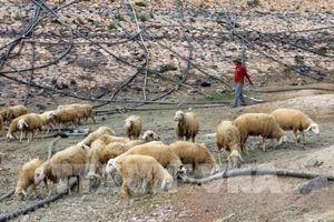 Chia sẻ cách chăn nuôi dê, cừu thích ứng với biến đổi khí hậu