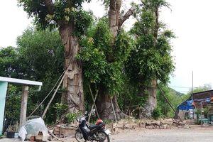 Vụ cây khủng ở Huế: Vẫn 'án binh bất động', cây mọc lá xum xuê