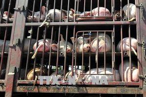 Thịt lợn - Mặt hàng có thể tác động đến các cuộc đàm phán thương mại của Trung Quốc