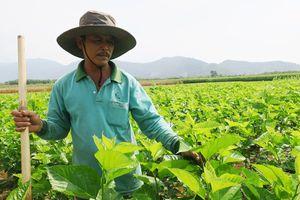 Nông dân thu nhập cao nhờ trồng dâu nuôi tằm