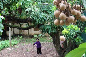 Cây nhãn tổ gần 130 tuổi truyền 5 đời ở Hà Nội