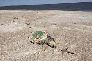 Hơn 100 xác rùa biển dạt vào bờ một cách bí ẩn