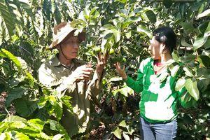 Xen canh sầu riêng - cà phê - bơ Booth, lãi 700 triệu đồng/năm
