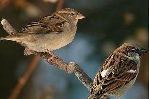 Chim sẻ đã tiến hóa như thế nào trong xã hội loài người?