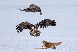 Đại bàng quyết chiến giành miếng mồi ngon từ cáo con