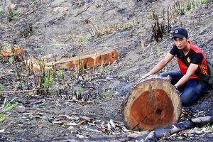 Vụ phá rừng trồng keo lai: Hỏa tốc chỉ đạo xác minh