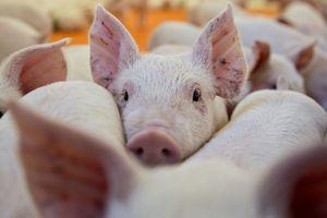 Dịch cúm lợn châu Phi ở Trung Quốc nguy cơ lan sang Đông Nam Á