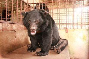 Người dân tự nguyện giao 5 cá thể gấu cho trung tâm bảo tồn