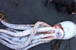 Phát hiện 'quái vật' mực khổng lồ ở New Zealand