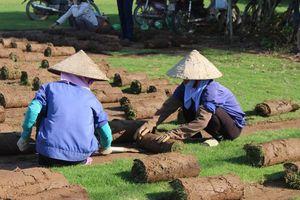 Điền Xá: Trồng cỏ Nhật 'hái ra tiền'