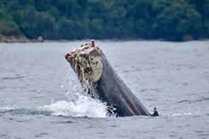 Clip: Cá voi đứt gần nửa người vẫn bơi xuyên đại dương