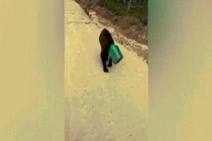 Gấu kẹt đầu trong hộp, lang thang trên đường ở Nga