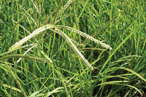 Loại cỏ quý hơn vàng, chữa được bách bệnh mà ít ai biết