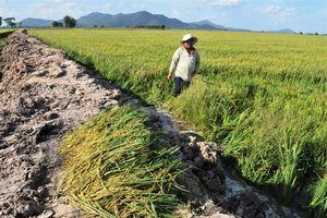Nước lũ làm vỡ bờ bao, nhấn chìm hàng trăm ha lúa