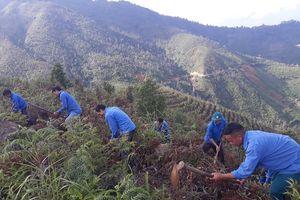 Mù Cang Chải trồng 200ha Sơn Tra vào rừng tự nhiên nghèo kiệt